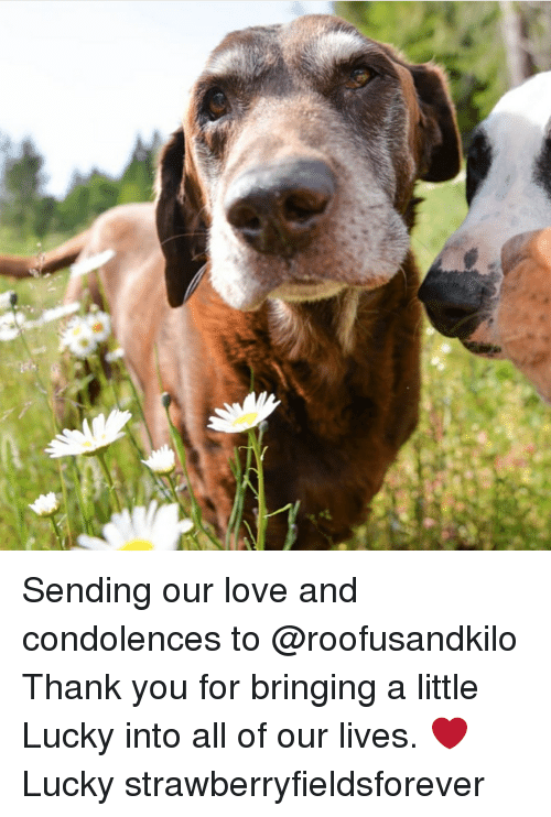 Love, Memes, and Thank You: Sending our love and condolences to @roofusandkilo Thank you for bringing a little Lucky into all of our lives. ❤️ Lucky strawberryfieldsforever
