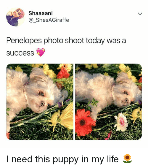 Life, Puppy, and Today: Shaaaani  @_ShesAGiraffe  Penelopes photo shoot today was a  succesS I need this puppy in my life 🌻