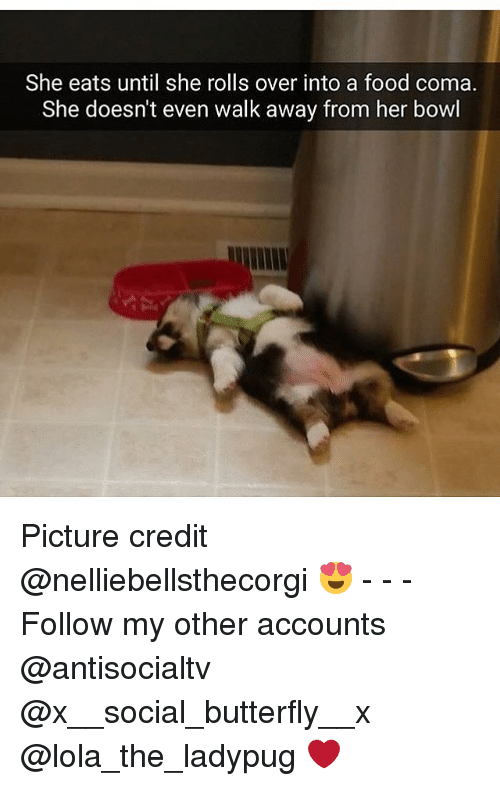 Away From Her: She eats until she rolls over into a food coma.  She doesn't even walk away from her bowl Picture credit @nelliebellsthecorgi 😍 - - - Follow my other accounts @antisocialtv @x__social_butterfly__x @lola_the_ladypug ❤️