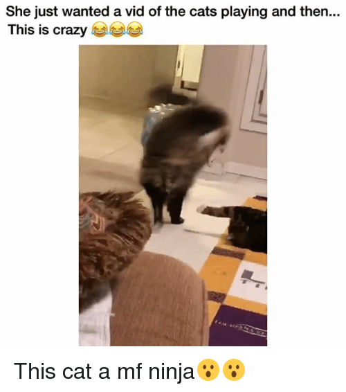 Cats, Crazy, and Funny: She just wanted a vid of the cats playing and then.  This is crazy This cat a mf ninja😮😮