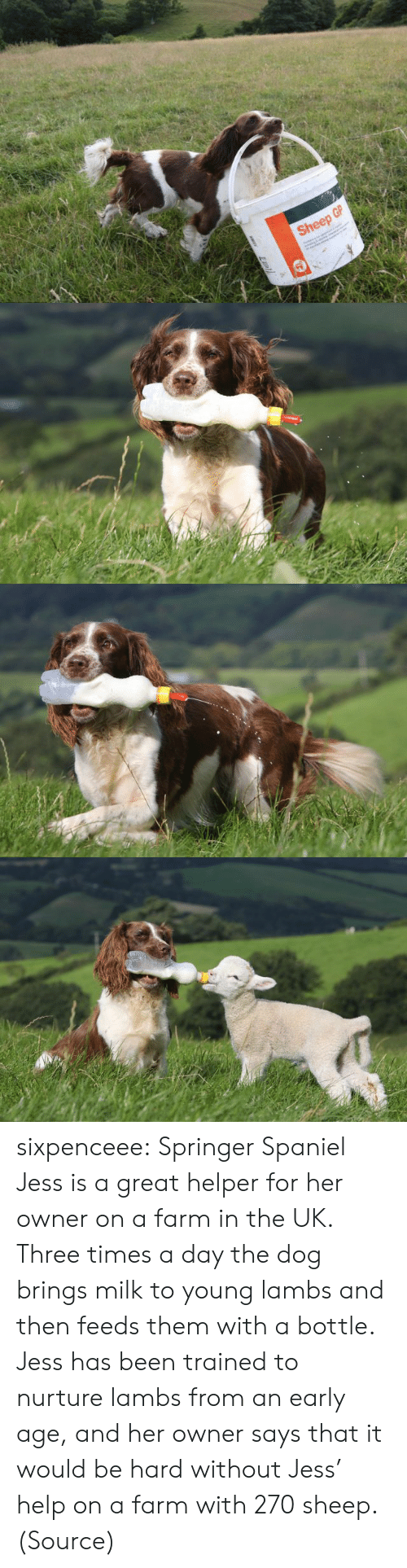 Tumblr, Blog, and Help: Sheep GP sixpenceee:  Springer Spaniel Jess is a great helper for her owner on a farm in the UK. Three times a day the dog brings milk to young lambs and then feeds them with a bottle. Jess has been trained to nurture lambs from an early age, and her owner says that it would be hard without Jess' help on a farm with 270 sheep. (Source)