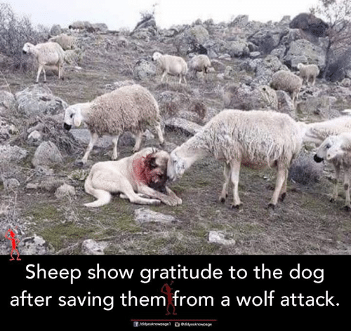 Memes, Wolf, and 🤖: Sheep show gratitude to the dog  after saving them from a wolf attack.