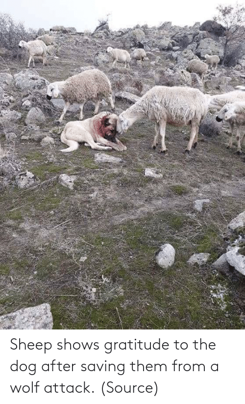 the dog: Sheep shows gratitude to the dog after saving them from a wolf attack. (Source)