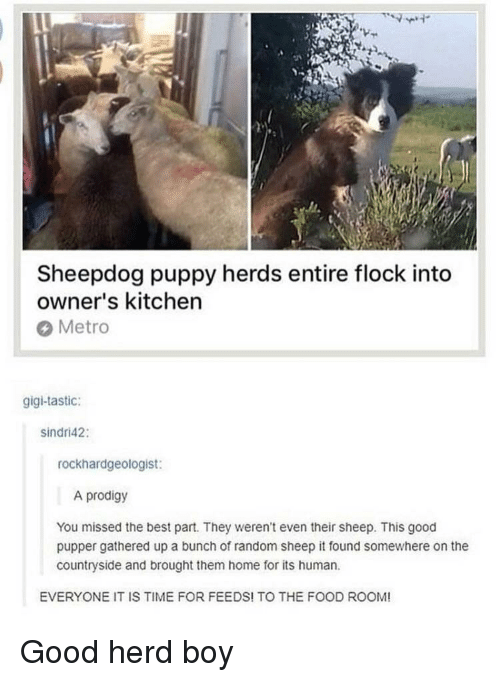 Food, Best, and Good: Sheepdog puppy herds entire flock into  owner's kitchen  Metro  gigi-tastic:  sindri42:  rockhardgeologist:  A prodigy  You missed the best part. They weren't even their sheep. This good  pupper gathered up a bunch of random sheep it found somewhere on the  countryside and brought them home for its human  EVERYONE IT IS TIME FOR FEEDS! TO THE FOOD ROOM! <p>Good herd boy</p>