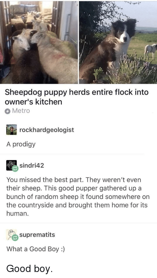 Best, Good, and Home: Sheepdog puppy herds entire flock into  owner's kitchen  Metro  rockhardgeologist  A prodigy  sindri42  You missed the best part. They weren't even  their sheep. This good pupper gathered up a  bunch of random sheep it found somewhere on  the countryside and brought them home for its  human.  suprematits  What a Good Boy :) <p>Good boy.</p>