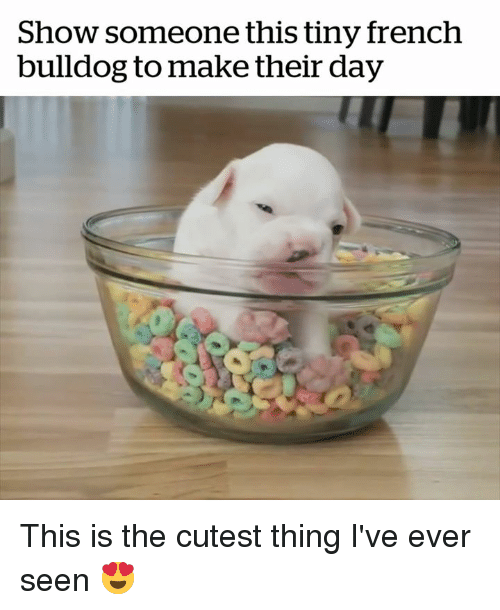 Bulldog, French, and French Bulldog: Show someone this tiny french  bulldog to make their day This is the cutest thing I've ever seen 😍