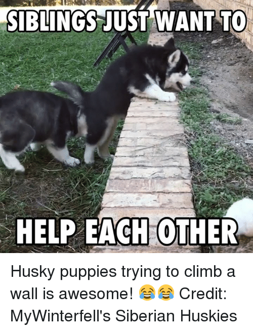 Husky Puppy: SIBLINGS JUST WANT TO  HELP EACH OTHER Husky puppies trying to climb a wall is awesome! 😂😂  Credit: MyWinterfell's Siberian Huskies