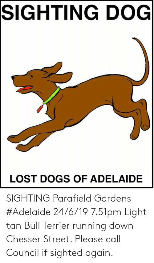 Dogs, Memes, and Lost: SIGHTING DOG  LOST DOGS OF ADELAIDE SIGHTING Parafield Gardens #Adelaide 24/6/19 7.51pm Light tan Bull Terrier running down Chesser Street. Please call Council if sighted again.