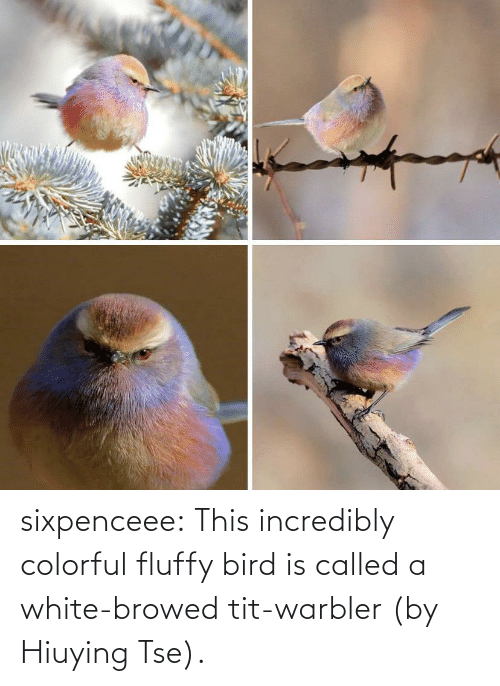 Https: sixpenceee:  This incredibly colorful fluffy bird is called a white-browed tit-warbler (by Hiuying Tse).