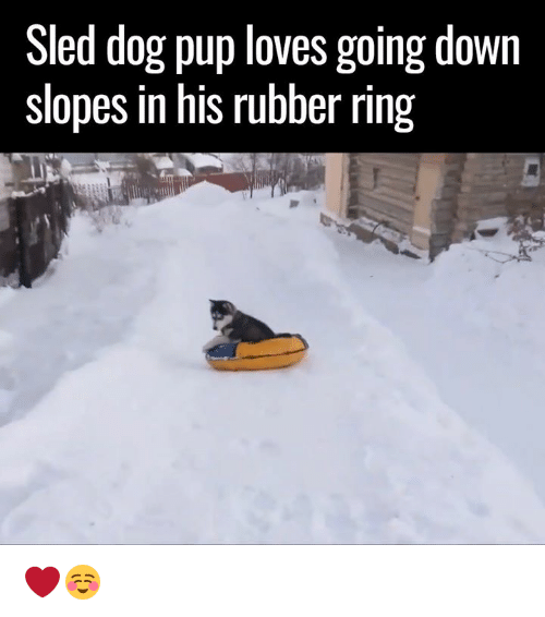 sledding: Sled dog pup loves going down  slopes in his rubber ring ❤☺️