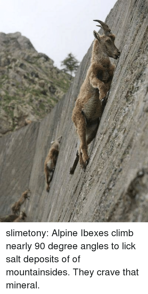 Tumblr, Blog, and Http: slimetony:    Alpine Ibexes climb nearly 90 degree angles to lick salt deposits of of mountainsides. They crave that mineral.