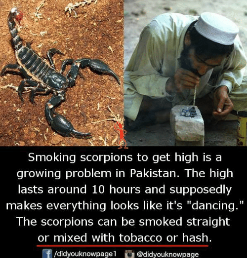 "Dancing, Memes, and Smoking: Smoking scorpions to get high is a  growing problem in Pakistan. The high  lasts around 10 hours and supposedly  makes everything looks like it's ""dancing.""  The scorpions can be smoked straight  or mixed with tobacco or hash  /didyouknowpagel@didyouknowpage"