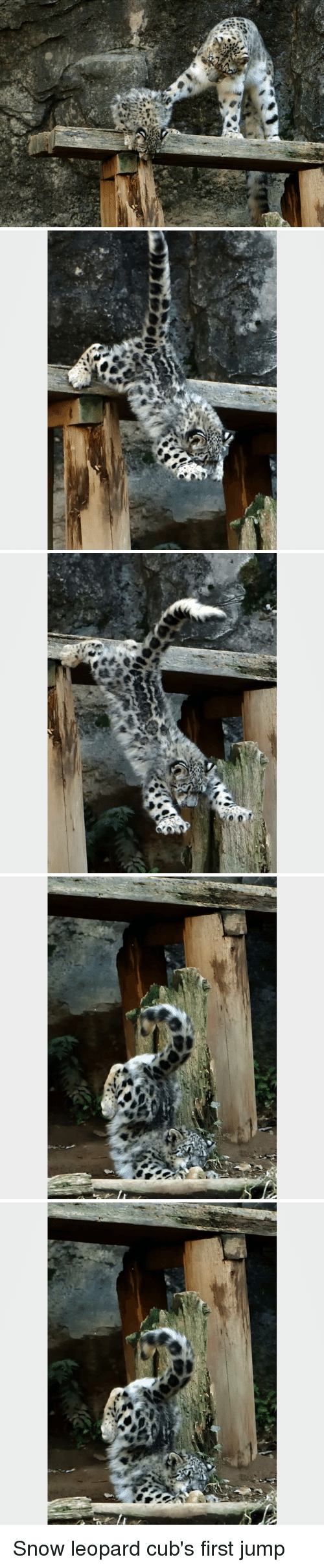 Cubs, Snow, and Leopard: Snow leopard cub's first jump