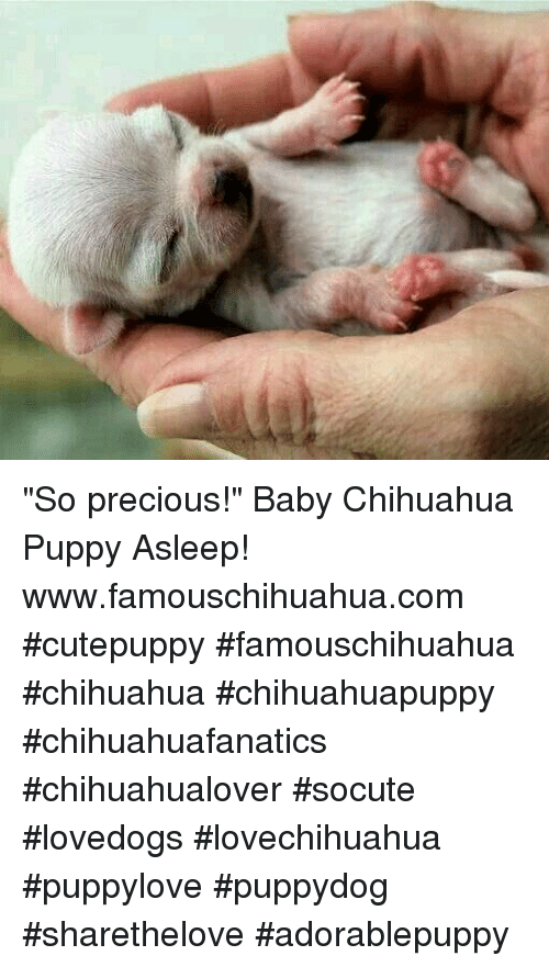 "Chihuahua, Memes, and Precious: ""So precious!"" Baby Chihuahua Puppy Asleep!  www.famouschihuahua.com #cutepuppy #famouschihuahua #chihuahua #chihuahuapuppy #chihuahuafanatics #chihuahualover #socute #lovedogs #lovechihuahua #puppylove #puppydog #sharethelove #adorablepuppy"