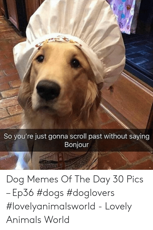 Animals, Dogs, and Memes: So you're just gonna scroll past without saying  Bonjour Dog Memes Of The Day 30 Pics – Ep36 #dogs #doglovers #lovelyanimalsworld - Lovely Animals World