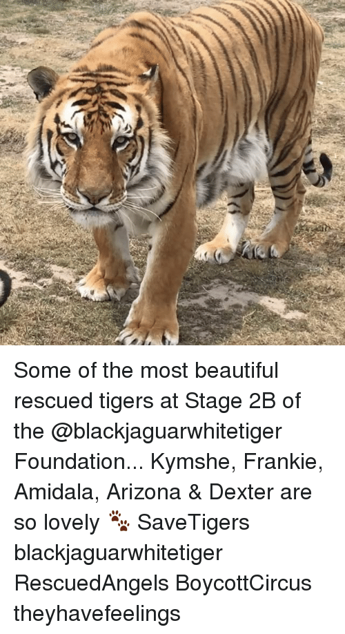 Beautiful, Memes, and Arizona: Some of the most beautiful rescued tigers at Stage 2B of the @blackjaguarwhitetiger Foundation... Kymshe, Frankie, Amidala, Arizona & Dexter are so lovely 🐾 SaveTigers blackjaguarwhitetiger RescuedAngels BoycottCircus theyhavefeelings