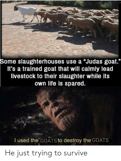 "Life, Goat, and Judas: Some slaughterhouses use a ""Judas goat.""  It's a trained goat that will calmly lead  livestock to their slaughter while its  own life is spared.  I used the GOATS to destroy the GOATS He just trying to survive"