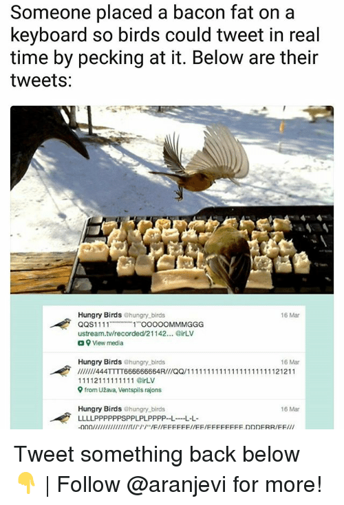 Hungry, Memes, and Birds: Someone placed a bacon fat on a  keyboard so birds could tweet in real  time by pecking at it. Below are their  tweets:  6 Mar  Hungry Birds ehungry birds  QQS1111  11 OOO0OMMMGGG  ustream.tv/recorded/21142... irLV  a View media  Hungry Birds @hungry.birds  16 Mar  9 from Užava, Ventspils rajons  Hungry Birds ehungry birds  LLLLPPPPPPSPPLPLPPPP--LL  16 Mar Tweet something back below 👇   Follow @aranjevi for more!