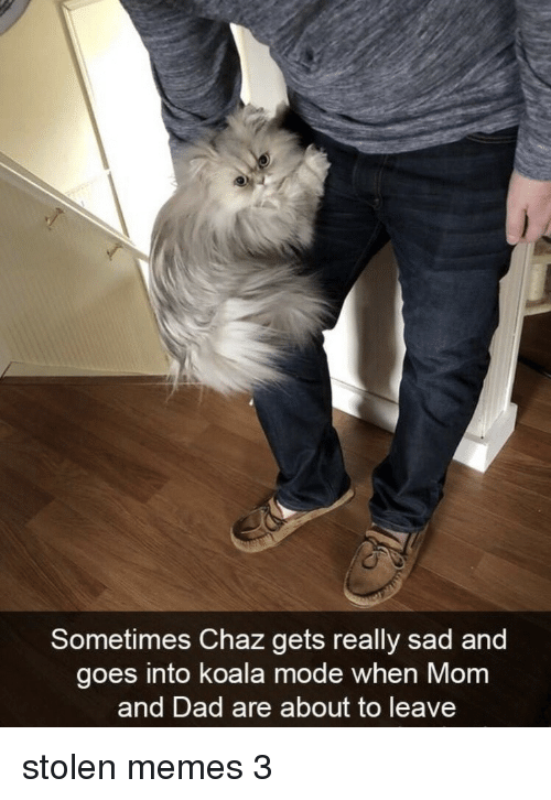 koala: Sometimes Chaz gets really sad and  goes into koala mode when Mom  and Dad are about to leave stolen memes 3
