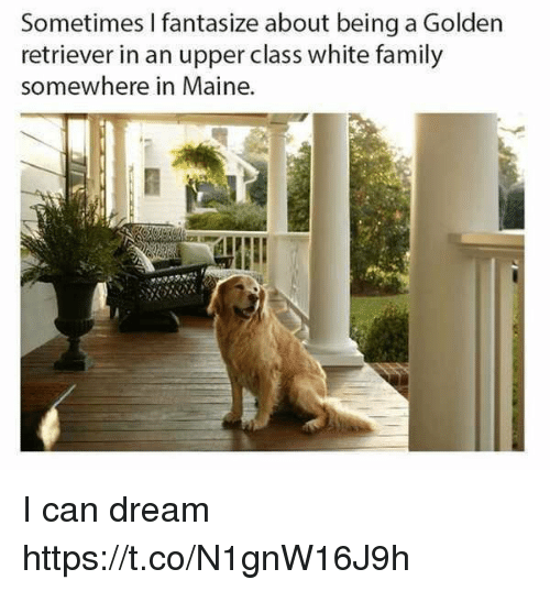 Family, Funny, and Golden Retriever: Sometimes I fantasize about being a Golden  retriever in an upper class white family  somewhere in Maine. I can dream https://t.co/N1gnW16J9h