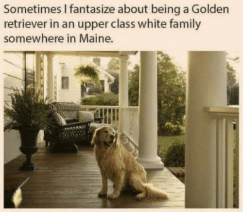 Family, Golden Retriever, and Maine: Sometimes I fantasize about being a Golden  retriever in an upper class white family  somewhere in Maine.