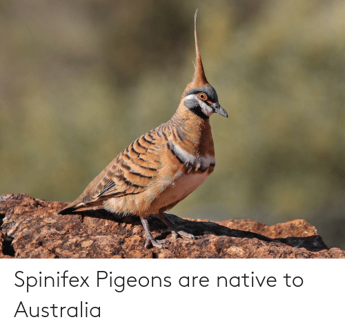 pigeons: Spinifex Pigeons are native to Australia