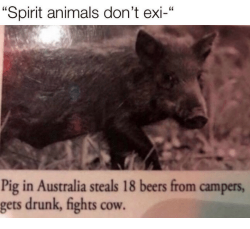 "Animals, Drunk, and Australia: ""Spirit animals don't exi-""  46  Pig in Australia steals 18 beers from campers  gets drunk, fights cow."