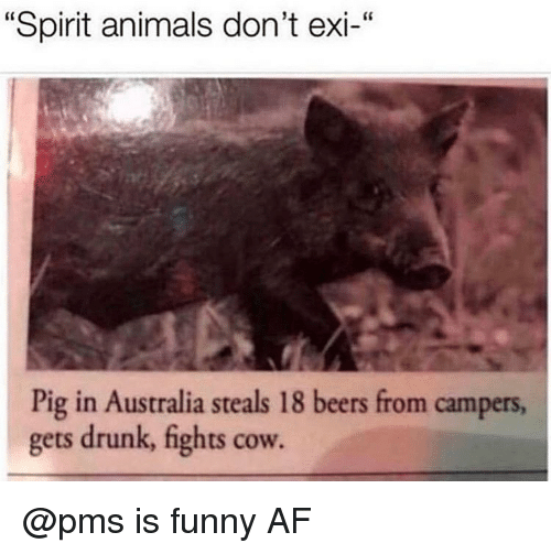 "Af, Animals, and Drunk: ""Spirit animals don't exi-""  Pig in Australia steals 18 beers from campers  gets drunk, fights cow. @pms is funny AF"