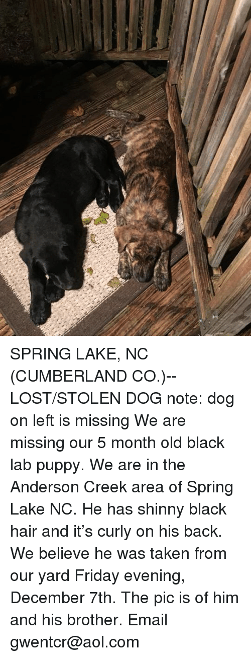 Friday, Memes, and Taken: SPRING LAKE, NC (CUMBERLAND CO.)-- LOST/STOLEN DOG  note: dog on left is missing  We are missing our 5 month old black lab puppy. We are in the Anderson Creek area of Spring Lake NC. He has shinny black hair and it's curly on his back. We believe he was taken from our yard Friday evening, December 7th. The pic is of him and his brother. Email gwentcr@aol.com