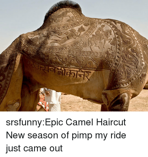 Haircut, Pimp My Ride, and Tumblr: srsfunny:Epic Camel Haircut  New season of pimp my ride just came out