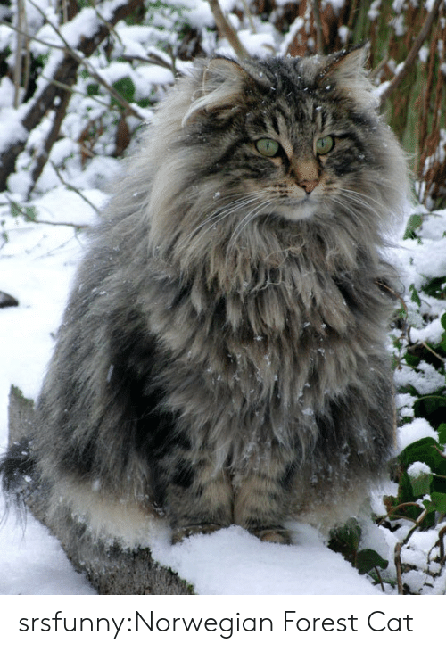 Tumblr, Blog, and Http: srsfunny:Norwegian Forest Cat