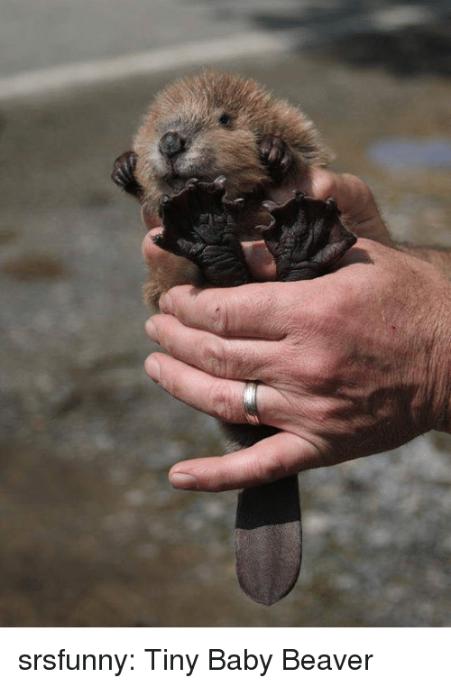 Tumblr, Blog, and Http: srsfunny:  Tiny Baby Beaver