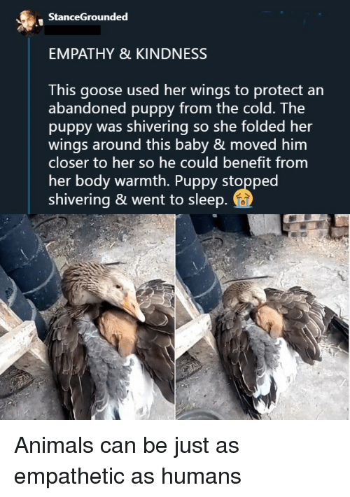 Animals, Empathy, and Puppy: StanceGrounded  EMPATHY & KINDNESS  This goose used her wings to protect an  abandoned puppy from the cold. The  puppy was shivering so she folded her  wings around this baby & moved him  closer to her so he could benefit from  her body warmth. Puppy stopped  shivering & went to sleep Animals can be just as empathetic as humans