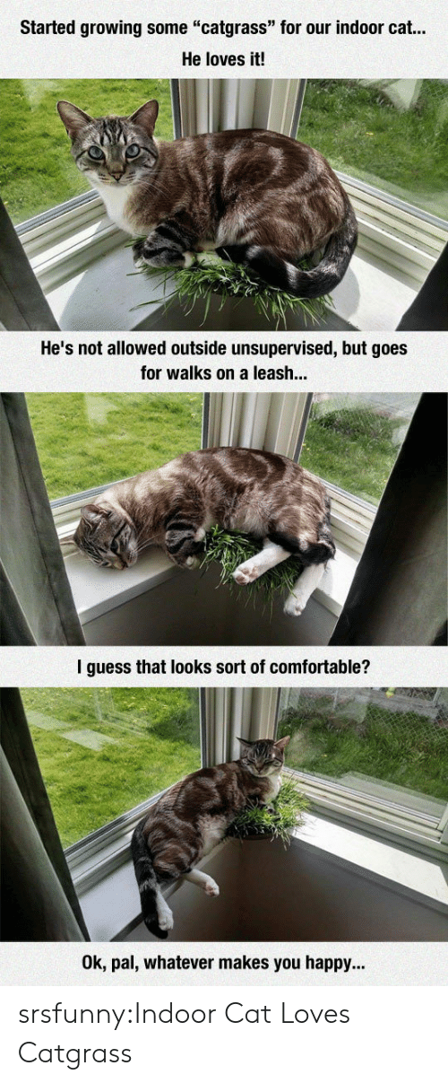 """Comfortable, Tumblr, and Blog: Started growing some """"catgrass"""" for our indoor cat...  He loves it!  He's not allowed outside unsupervised, but goes  for walks on a leash..  l guess that looks sort of comfortable?  Ok, pal, whatever makes you happy... srsfunny:Indoor Cat Loves Catgrass"""