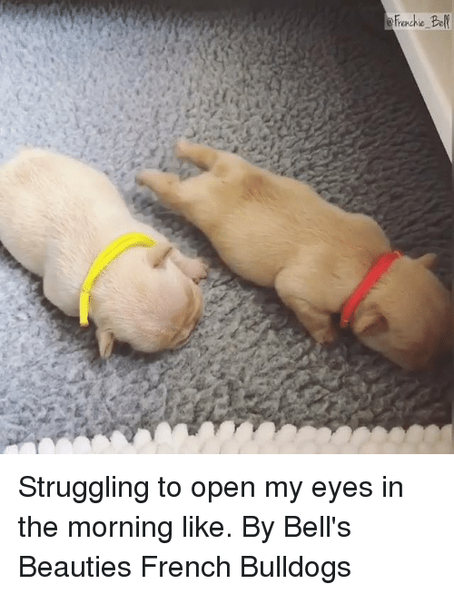Dank, French, and 🤖: Struggling to open my eyes in the morning like.  By Bell's Beauties French Bulldogs