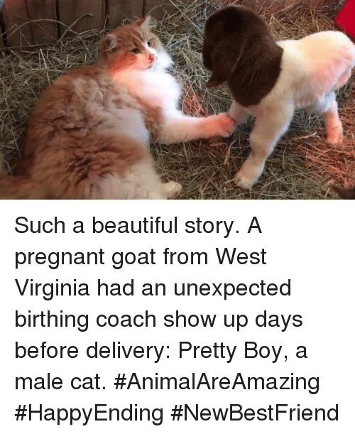 Memes, Virginia, and 🤖: Such a beautiful story. A pregnant goat from West Virginia had an unexpected birthing coach show up days before delivery: Pretty Boy, a male cat. #AnimalAreAmazing #HappyEnding #NewBestFriend