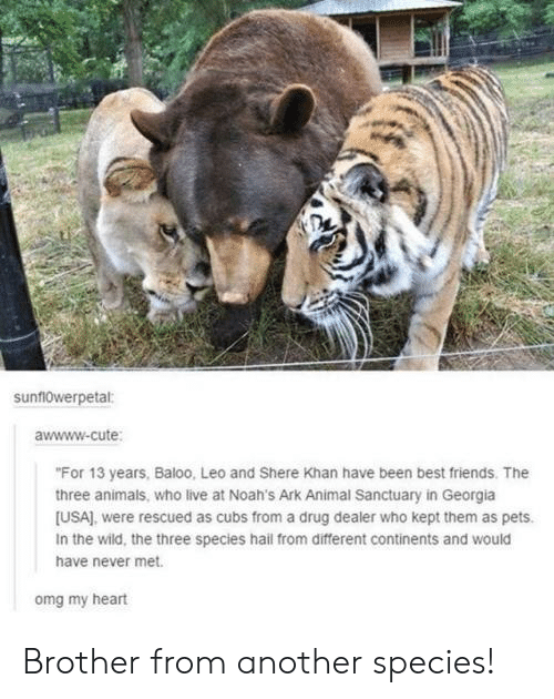 "Animals, Cute, and Drug Dealer: sunf10werpetal:  awwww-cute  ""For 13 years, Baloo, Leo and Shere Khan have been best friends. The  three animals, who live at Noah's Ark Animal Sanctuary in Georgia  [USA), were rescued as cubs from a drug dealer who kept them as pets.  In the wild, the three species hail from different continents and would  have never met.  omg my heart Brother from another species!"