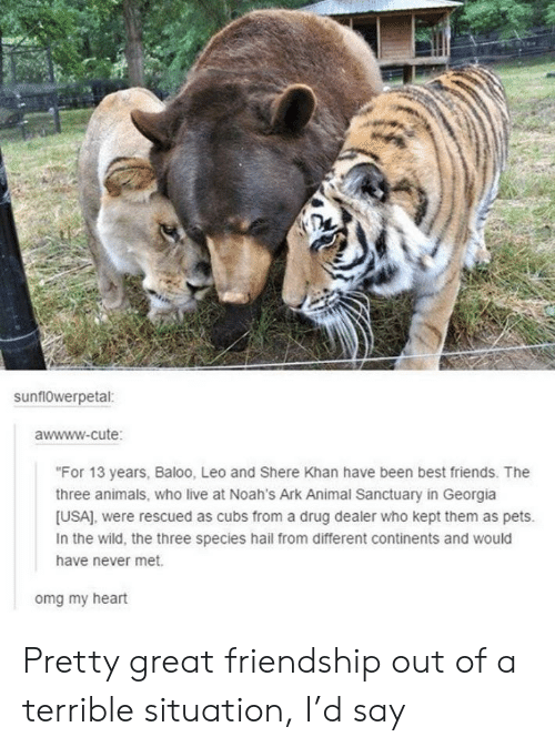 "Animals, Cute, and Drug Dealer: sunflowerpetal:  awwww-cute:  ""For 13 years, Baloo, Leo and Shere Khan have been best friends. The  three animals, who live at Noah's Ark Animal Sanctuary in Georgia  [USA], were rescued as cubs from a drug dealer who kept them as pets.  In the wild, the three species hail from different continents and would  have never met.  omg my heart Pretty great friendship out of a terrible situation, I'd say"