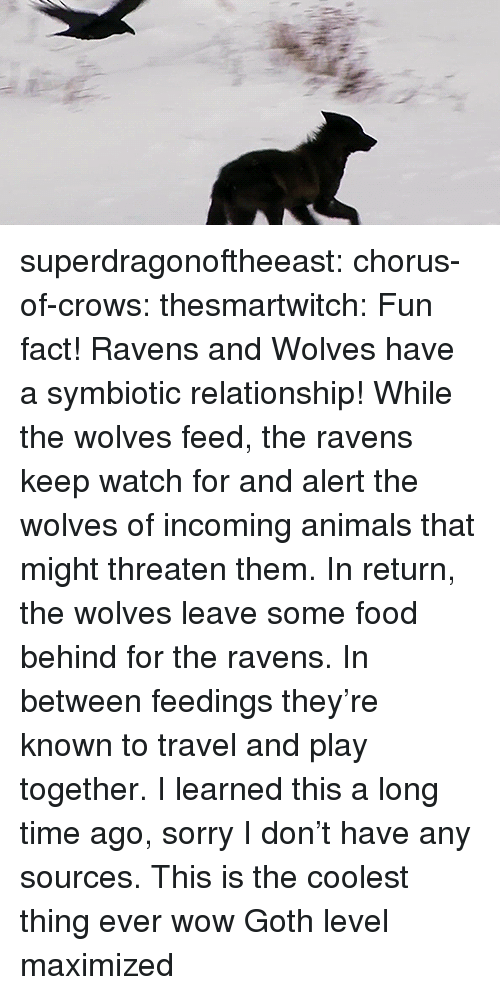 Incoming: superdragonoftheeast: chorus-of-crows:  thesmartwitch:  Fun fact! Ravens and Wolves have a symbiotic relationship! While the wolves feed, the ravens keep watch for and alert the wolves of incoming animals that might threaten them. In return, the wolves leave some food behind for the ravens. In between feedings they're known to travel and play together. I learned this a long time ago, sorry I don't have any sources.  This is the coolest thing ever wow   Goth level maximized