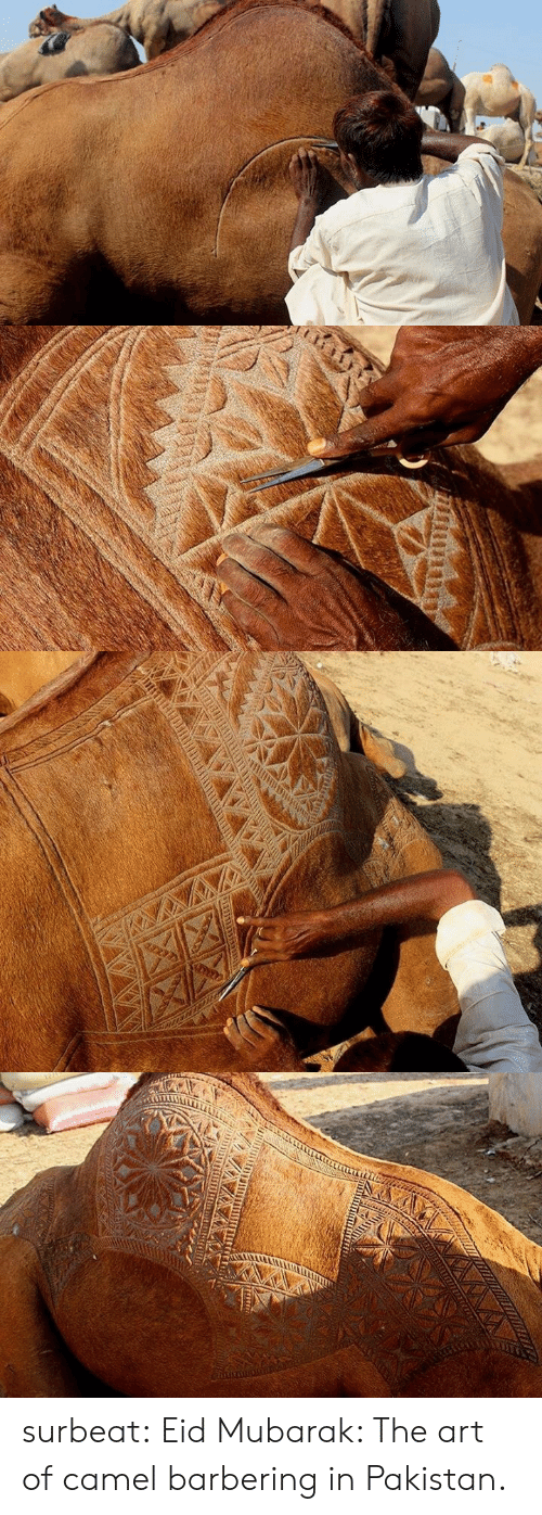 Tumblr, Blog, and Http: surbeat: Eid Mubarak: The art of camel barbering in Pakistan.