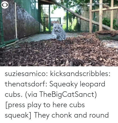 play: suziesamico:  kicksandscribbles:  thenatsdorf: Squeaky leopard cubs. (viaTheBigCatSanct) [press play to here cubs squeak]    They chonk and round