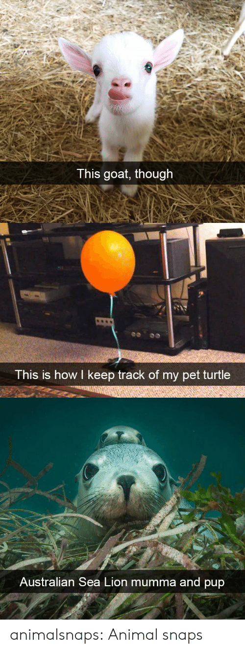 Tumblr, Goat, and Animal: T his goat, though   This is how I keep track of my pet turtle   Australian Sea Lion mumma and pup animalsnaps: Animal snaps