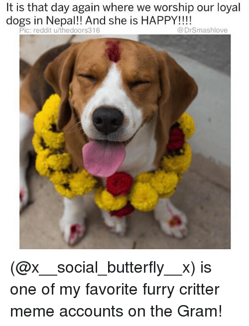 Dogs, Meme, and Memes: t is that day again where we worship our loyal  dogs in Nepal!! And she is HAPPY!!!!  Pic: reddit u/thedoors316  @DrSmashlove (@x__social_butterfly__x) is one of my favorite furry critter meme accounts on the Gram!