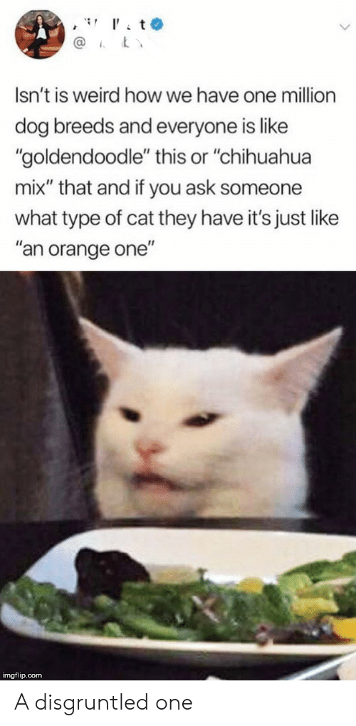 """Chihuahua, Weird, and Orange: t  @  Isn't is weird how we have one million  dog breeds and everyone is like  """"goldendoodle"""" this or """"chihuahua  mix"""" that and if you ask someone  what type of cat they have it's just like  """"an orange one""""  imgflip.com A disgruntled one"""
