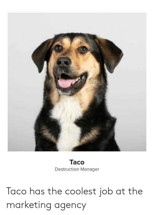 Job, Marketing, and Agency: Taco  Destruction Manager Taco has the coolest job at the marketing agency