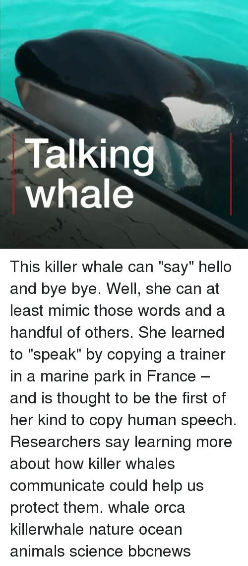 """Animals, Hello, and Killer Whales: Talking  whale This killer whale can """"say"""" hello and bye bye. Well, she can at least mimic those words and a handful of others. She learned to """"speak"""" by copying a trainer in a marine park in France – and is thought to be the first of her kind to copy human speech. Researchers say learning more about how killer whales communicate could help us protect them. whale orca killerwhale nature ocean animals science bbcnews"""