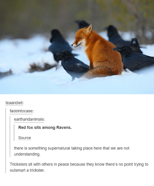 Ravens, Supernatural, and Humans of Tumblr: teaandwii  fadeintocase:  earthandanimals  Red fox sits among Ravens.  there is something supernatural taking place here that we are not  understanding.  Tricksters sit with others in peace because they know there's no point trying to  outsmart a trickster.