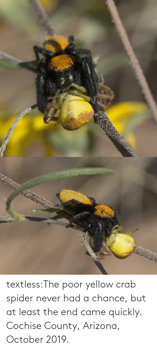 crab: textless:The poor yellow crab spider never had a chance, but at least the end came quickly.  Cochise County, Arizona, October 2019.