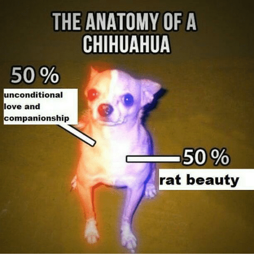 Chihuahua, Love, and Dank Memes: THE ANATOMY OF A  CHIHUAHUA  50 %  unconditional  love and  companionship  rat beauty