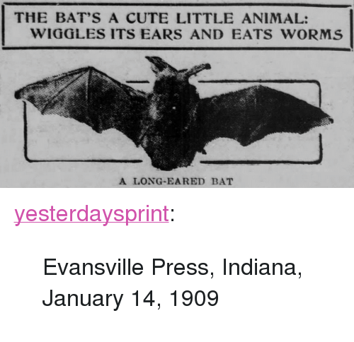 """Cute, Tumblr, and Animal: THE BAT'S A CUTE LITTLE ANIMAL:  WIGGLES ITS EARS AND EATS WORMS  A LONG-EARED BAT <p><a href=""""http://yesterdays-print.com/post/158040083904/evansville-press-indiana-january-14-1909"""" class=""""tumblr_blog"""">yesterdaysprint</a>:</p><blockquote><p>Evansville Press, Indiana, January 14, 1909 <br/></p></blockquote>"""